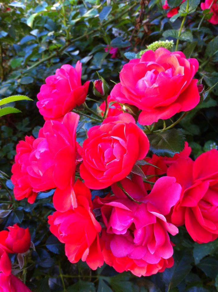 Red carpet rose