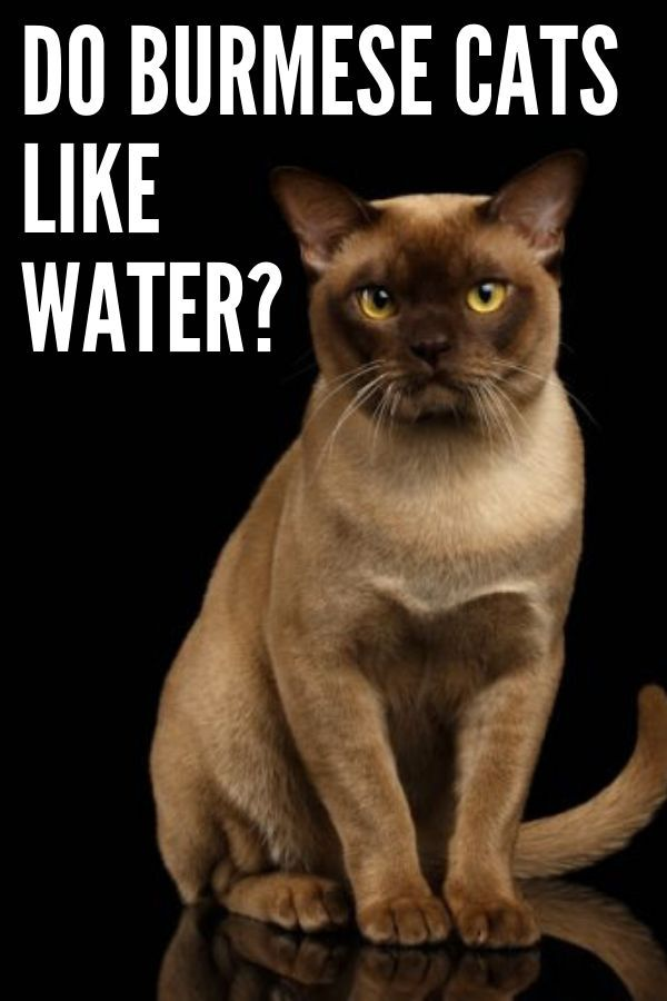 Do Burmese Cats Like Water In 2020 Burmese Cat Cat Statue Cats