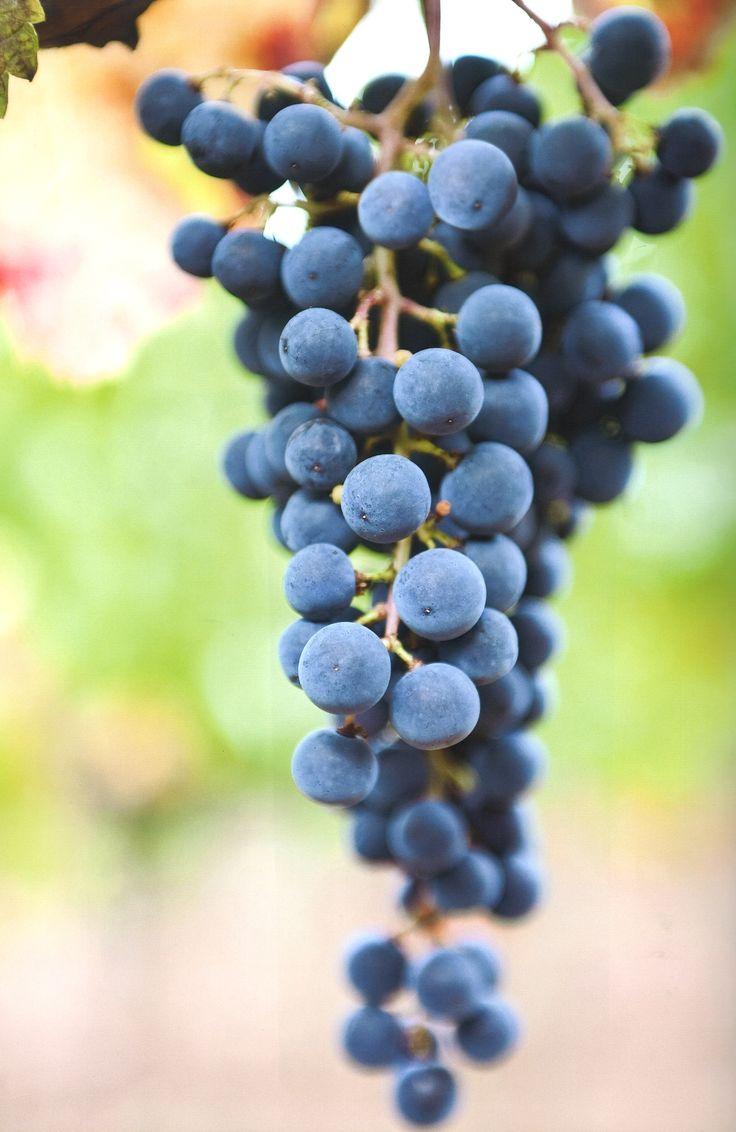 Grapes at the Bellavista Winery #wine #grapes #franciacorta. Photo by Oliviero Toscani
