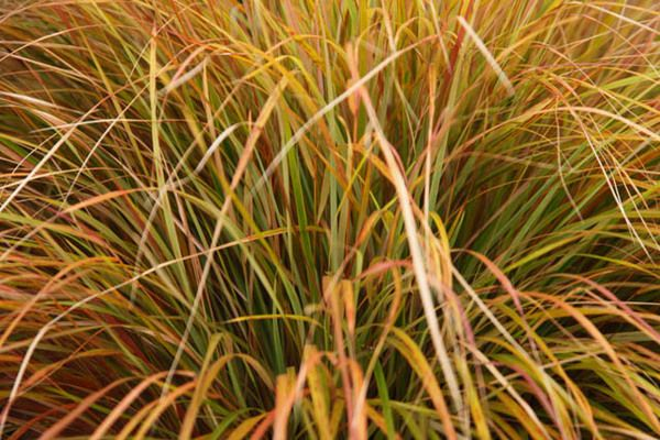 25 best ideas about stipa arundinacea on pinterest for Fast growing ornamental grass
