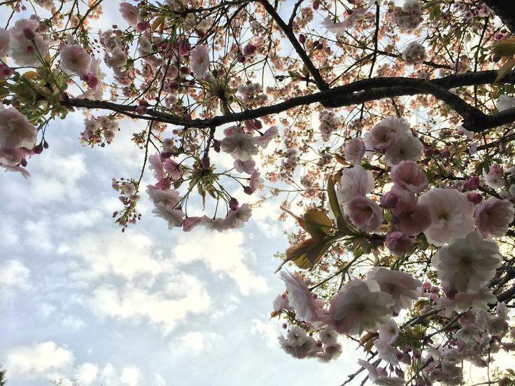 """""""Mi piace"""": 44, commenti: 2 - Julia Wylie (@juliawyliegardener) su Instagram: """"#cherryblossom #today #nofilter #instaflowers"""""""
