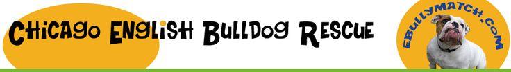 Adopt an English Bulldog from CEBR
