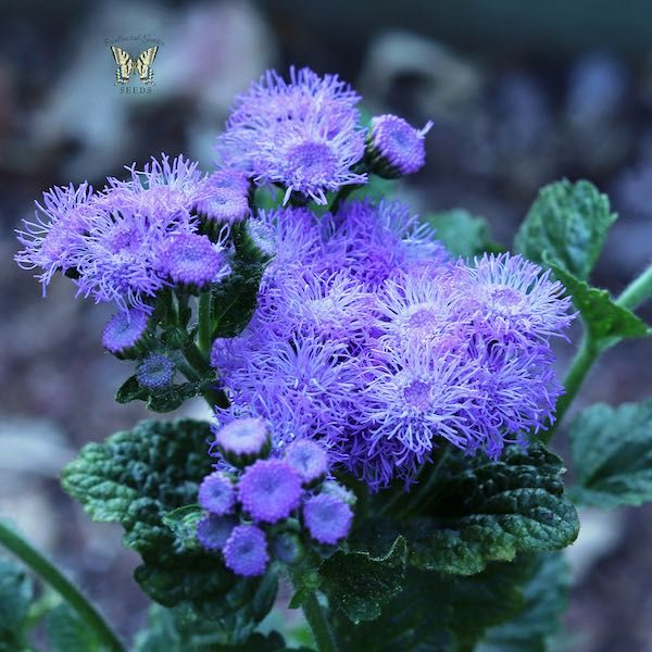 Ageratum Seeds How To Grow Floss Flower Annual Flower Seeds In 2020 Annual Flowers Flower Seeds Lavender Seeds