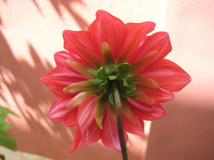 Dally flower