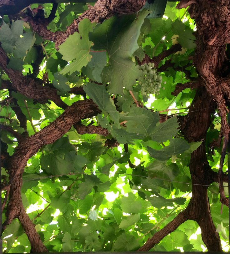 Just love sitting under the glory vine in summer