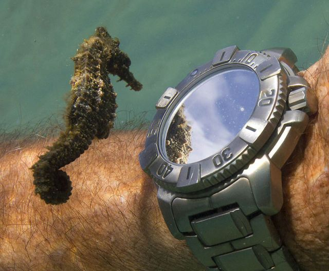 A sea horse inspecting a diver's watch.