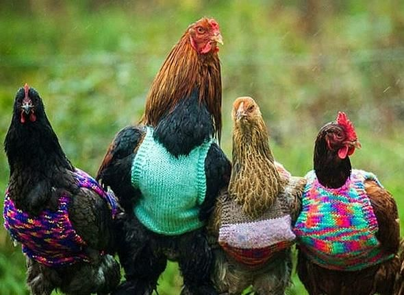 10 Best Images About Chicken In Clothes On Pinterest