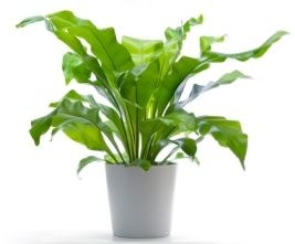 Bird Nest Fern - Asplenium nidus - Pictures, Care:  Keep soil evenly moist. Water the potting mix, not the center of the rosette, otherwise it can easily rot. Water less in winter. Yellow fronds are often a sign of overwatering.