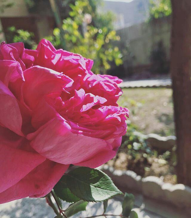 هل جربتم أن تأكلوا الورد ح با أنا اكلت لقمة ورد لذيذة جدا ومريحة للبدن والروح المنهكين فيها عطر ابنة الشمس سيدة النساء Rose Flowers Plants