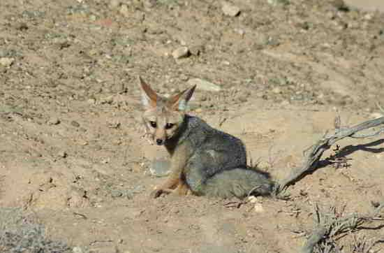 Cape fox on a game drive at Inverdoorn Reserve