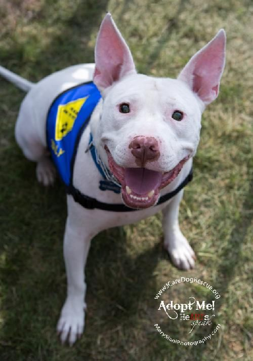 Sully the PIT BULL is looking for a home! Look at this happy guy <3