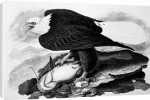 Canvas Print of THE BALD EAGLE. Watercolor painting by John James Audubon (1785-1851) from Granger Art on Demand: Canvas Prints, Watercolor Paintings