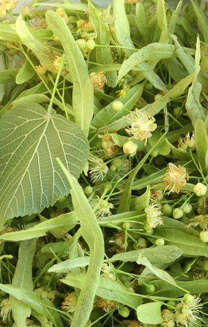 Tilleul • Quel est le bon moment pour récolter le tilleul à des fins de tisane ? Le tilleul est à maturité quand trois des fleurs sont ouvertes... suite à lire sur le site Esprit cabane.