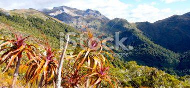 Mountain Neinei (Dracophyllum traversii), Kahurangi National Park Royalty Free Stock Photo