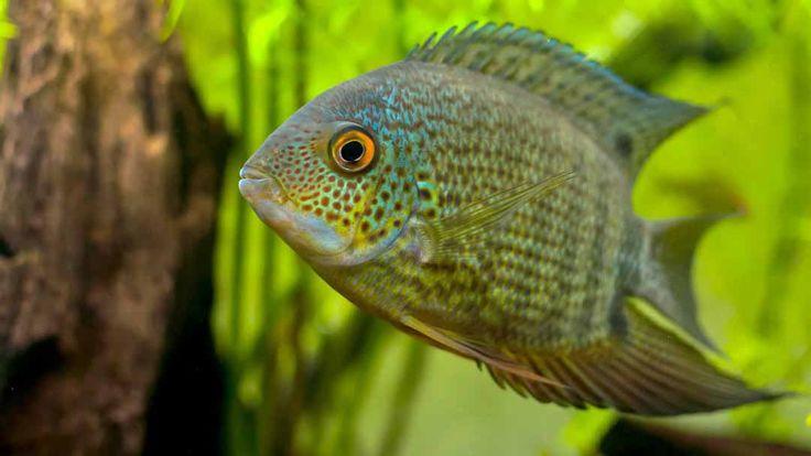 Heros Severus, My Favorite Freshwater Fish to Keep