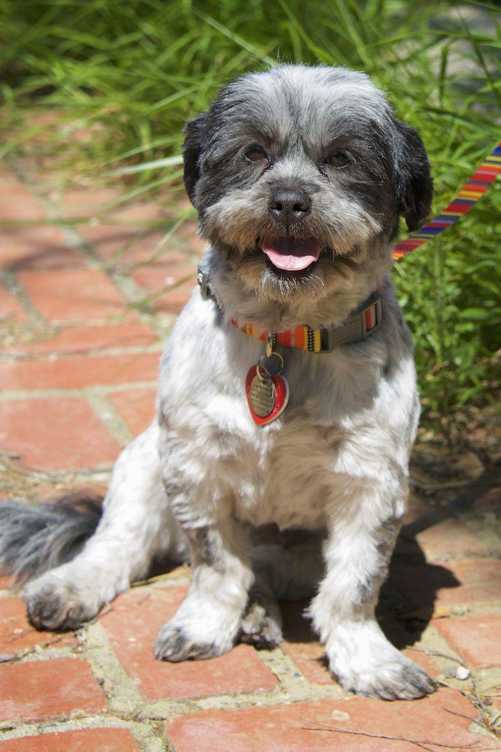 Adopt Dottie On Petfinder Shih Tzu Dogs Shelter Dogs