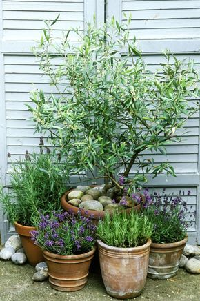 Small olive tree with rosemary and lavender.