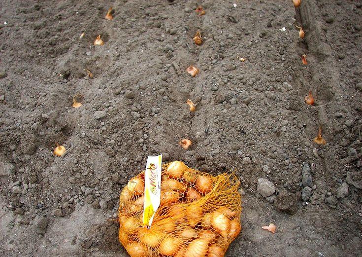 Zwiebeln anbauen.