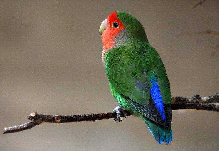 Lovebird Abisinia Agapornis Taranta Abisinia Burung Indonesia