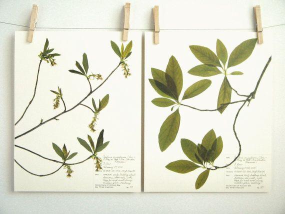 Botanische Print Set van Indiase pruimenboom gedrukt bladeren en bloemen, Prints voor originele Herbarium Specimen ingedrukt botanische illustraties, 188 189