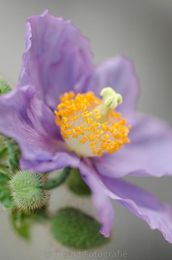 "Meconopsis ""Hensol-Violet"" - Himalaya-Scheinmohn"