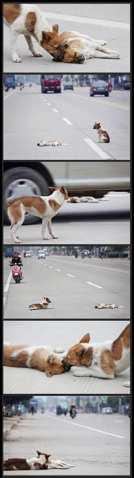 """""""A dog rescues his injured friend""""....since no one else thought to take a moment from their oh so busy lives and stop to help such innocent creatures..."""
