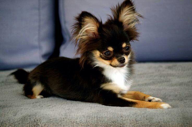 The Colors Favorite Chihuahua Pics Chihuahua Puppies