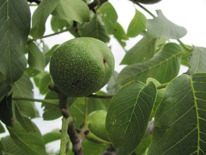 Dol op de walnootboom, prachtig grijze stam, mooi blad en heerlijke gezonde vruchten