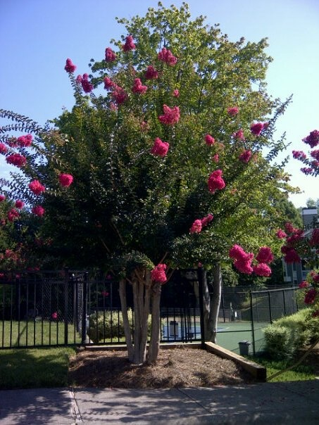 A Flowering Tree From North Carolina Flowers Big Flowers Small