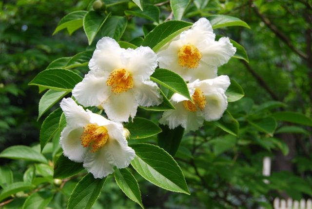 Stewartia pseudocamellia, photo c/o @Margaret Roach, 8-ft. tree, spring 2010 from a friend.