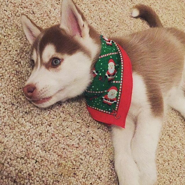 Christmas Husky Puppy