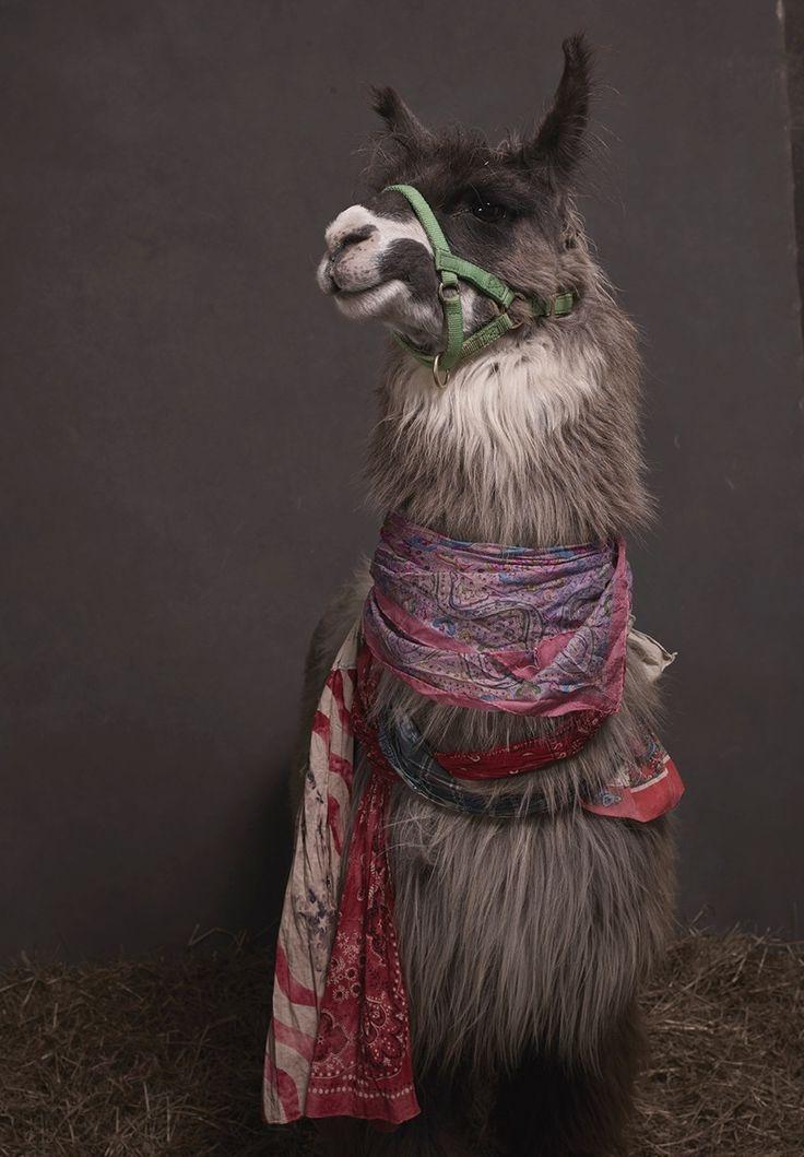 Silver Alpache the llama cunningly mixes ethic-shmethnic with bandana