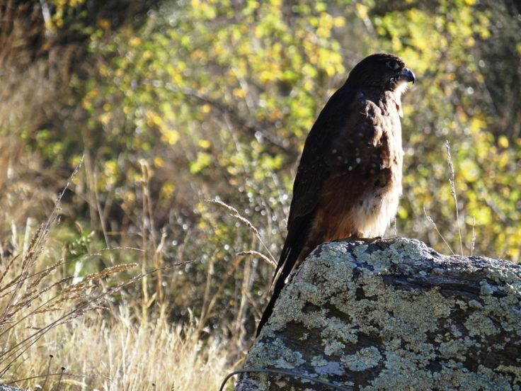 A New Zealand Falcon - spotted at the second tunnel in the Poolburn Gorge