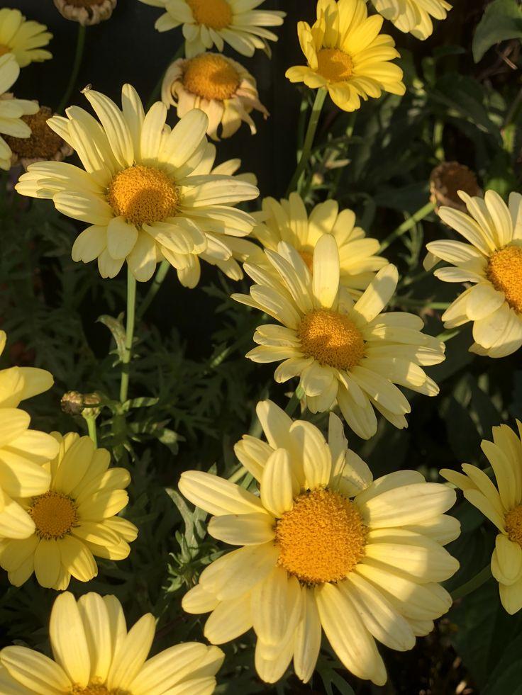 yellow daisies in 2020   Yellow daisies, Flowers, Aesthetic
