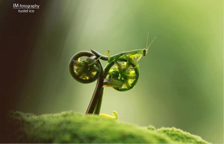 Praying Mantis looks like a bicycle