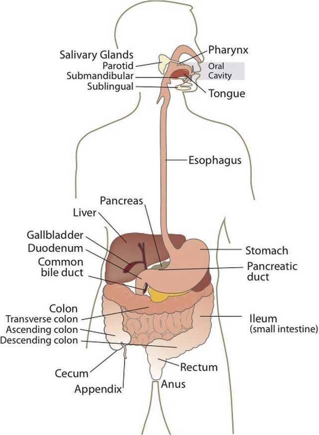 Picture Of Digestive System With Labels Koibana Info Digestive System Diagram Human Digestive System Digestive System