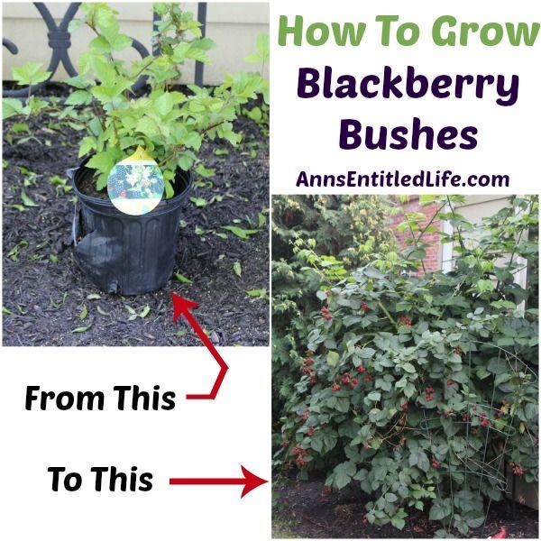 How to grow Blackberry Bushes #blackberry #gardening #dan330 http://livedan330.com/2015/04/17/how-to-grow-blackberry-bushes/