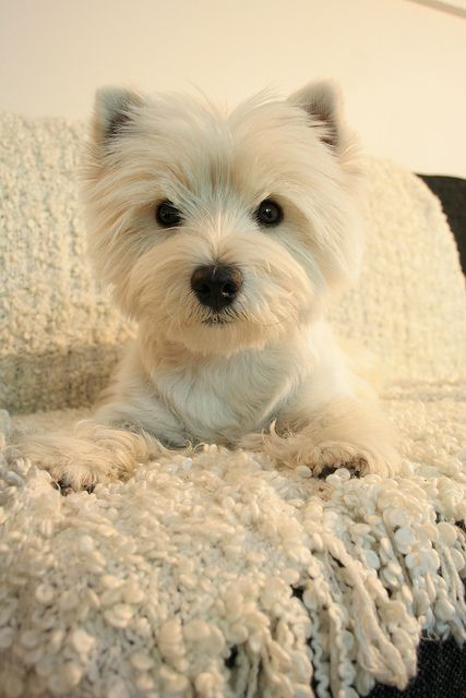 I Have a Westie too! (West highland terrier) They are so cute and playful!