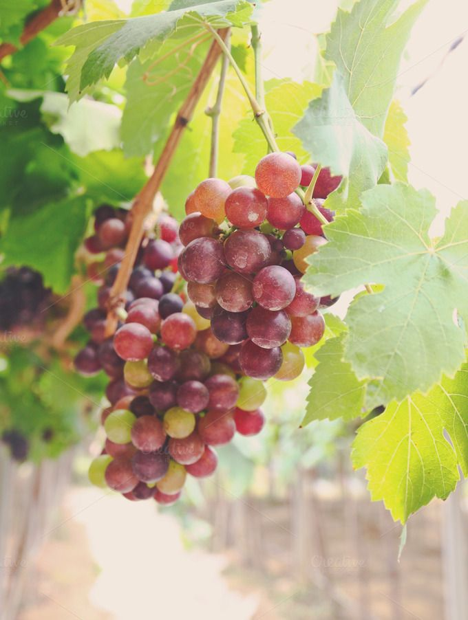 Check out Red grape vine in the yard by Nuchylee Photo on Creative Market