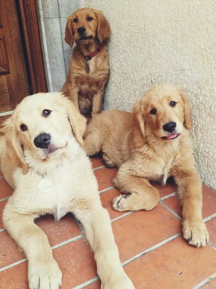 Can't handle the cuteness | 'adolescent' Golden Retrievers