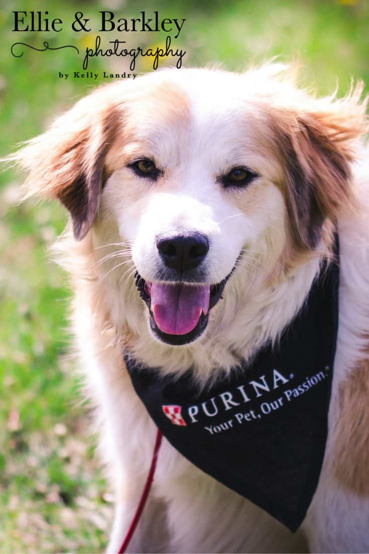 Ellie participated in the Purina Walk for Guide Dogs on Saturday!
