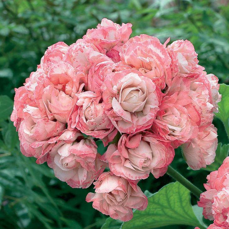 Geranium 'Appleblossom Rosebud'   Pelargonium, Zonal Geranium, Zonal Pelargonium