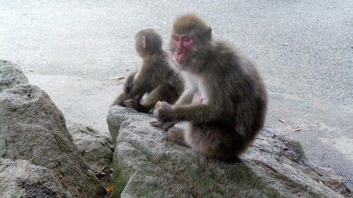 Entre Beppu et Ōita City : visite du parc aux singes de Takasakiyama ! Kyushu, Japon.