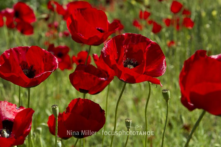 intensely red poppies Greece Nina LOVE this one !!