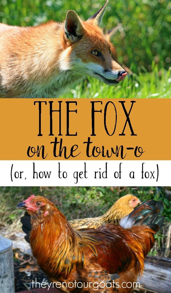 When the fox comes on the town-o how do you get rid of him? Here are a few ideas for starters!