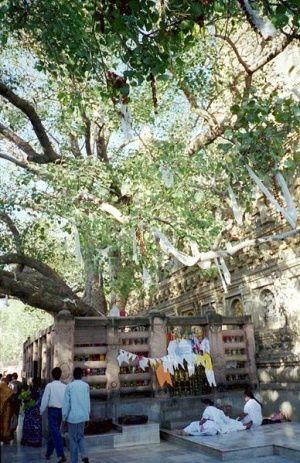 Bodhi Tree - Dhamma Wiki