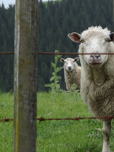 """♥ Someone wrote """"Love the expressions of the sheep in the foreground and the background.""""   Image source:  unknown. ♥"""