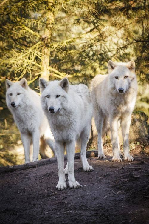 Three White Wolves