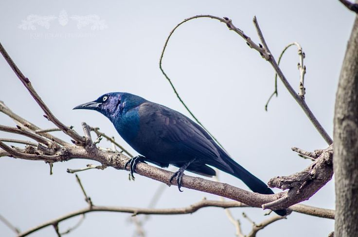 "18 Likes, 1 Comments - PinealForest (@pineal_forest) on Instagram: ""Circa 2014 on the Bridge of Flowers in Shelburne Falls Massachusetts. Common Grackle.…"""