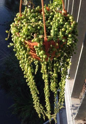 Senecio rowleyanus Erbsenpflanze Kaktus Sedum Perlenschnur Sukkulente Ableger 3x in Garten & Terrasse,Pflanzen, Sämereien & Zwiebeln,Pflanzen, Bäume & Sträucher | eBay